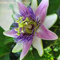 passiflora12.jpg
