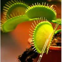 Biljke mesožderke Diona2