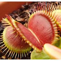 Biljke mesožderke Diona4