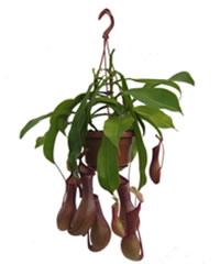 Biljke mesožderke Nemp