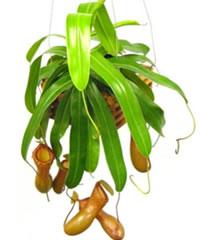 Biljke mesožderke Nemp1