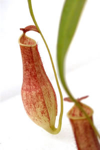 Biljke mesožderke Nemp3