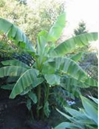 banana12.jpg