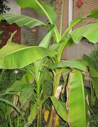 banana123.jpg