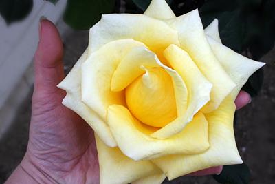 ruža vleika.jpg