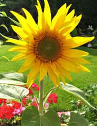 suncokret3.jpg