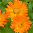 NEVEN – lat. Calendula officinalis