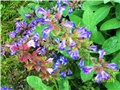 kadulja- Salvia officinalis