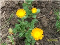 neven- lat. lat. Calendula officinalis