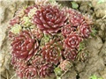 Sempervivum2