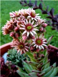 Sempervivum - cvijet