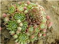 Sempervivum3