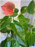 anthurium (flamingov cvijet)