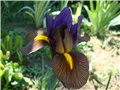 Iris holandica Eye of the tiger