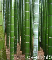 Moso bambus - Phyllostachys pubescens
