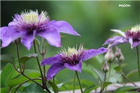 f4558f88-IMG_0017 clematis.jpg