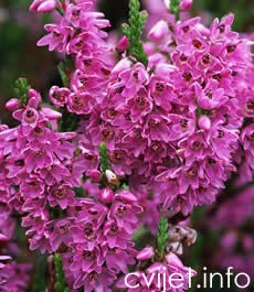 Vrijesak - calluna vulgaris - Trajnice
