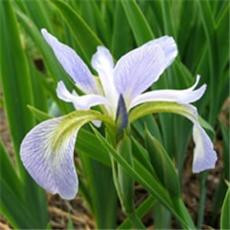 Iris - Perunika - Hrvatski nacionalni cvijet - Zanimljivosti