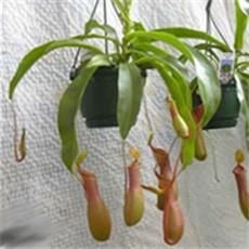 Biljke mesožderke 83fbb0af-49a9-4724-b43f-5e4dc245c872-nemp-