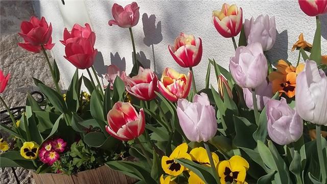 Slikovni rezultat za tulipani slike