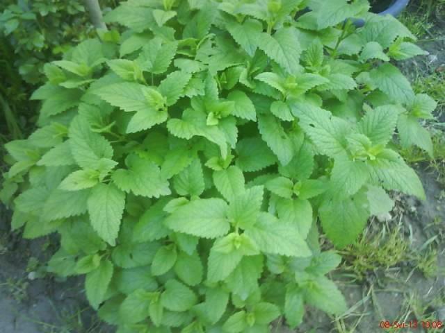 melisa ili matičnjak - Začinsko i ljekovito bilje - Slika 58127