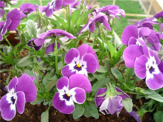 proljetno cvijeće - Slike od članova - Slika 39233