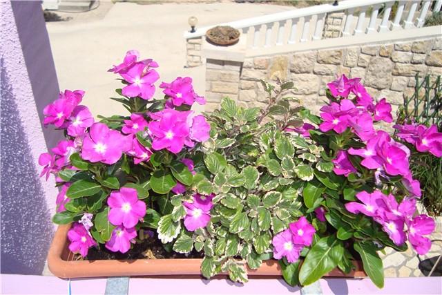 vinka - Vrtno cvijeće
