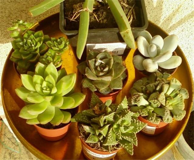 Echeveria - Cvijet.info FORUM - Stranica 39