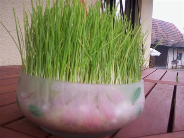 pšenica%20