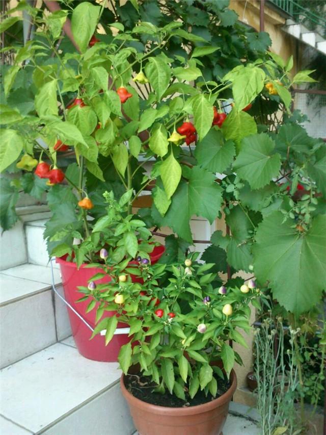 biskupska kapica u dobrom društvu - Povrće i vrt - Slika 49901