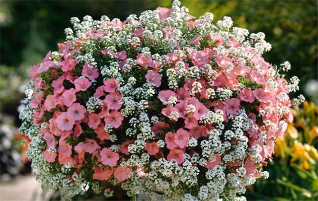 balkonsko cvijeće - Slike od članova - Slika 77940