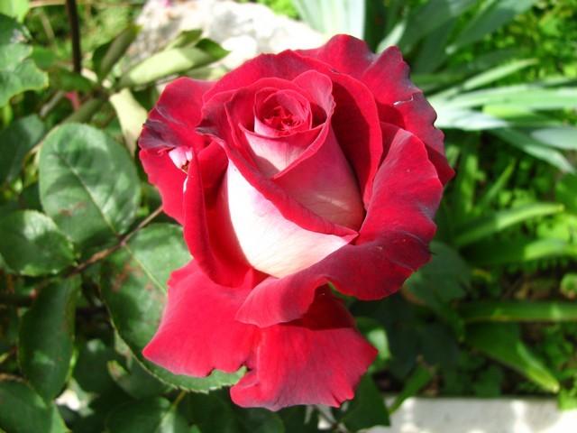Ruža - Ostrvo ljubavi