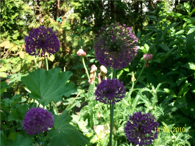 ukrasni luk - lat. Allium Purple Sensation,