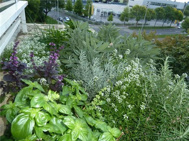 Vrt na 4 katu - Začinsko i ljekovito bilje - Slika 54429