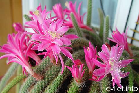 Aporokaktus, Zmijski kaktus1.jpg