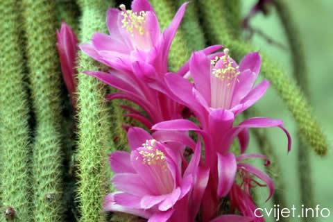 Aporokaktus, Zmijski kaktus2.jpg