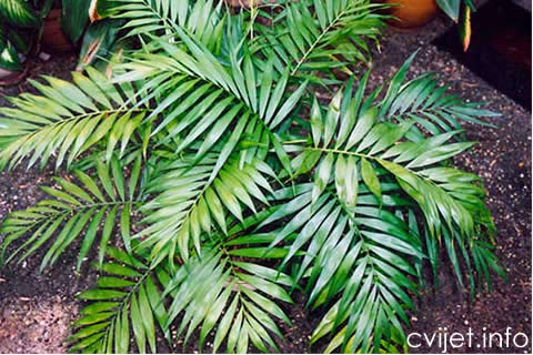 Brdska palma2.jpg