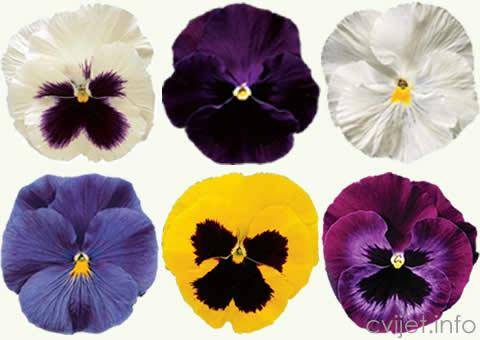 PRODAJA  cvijeća macuhica.jpg