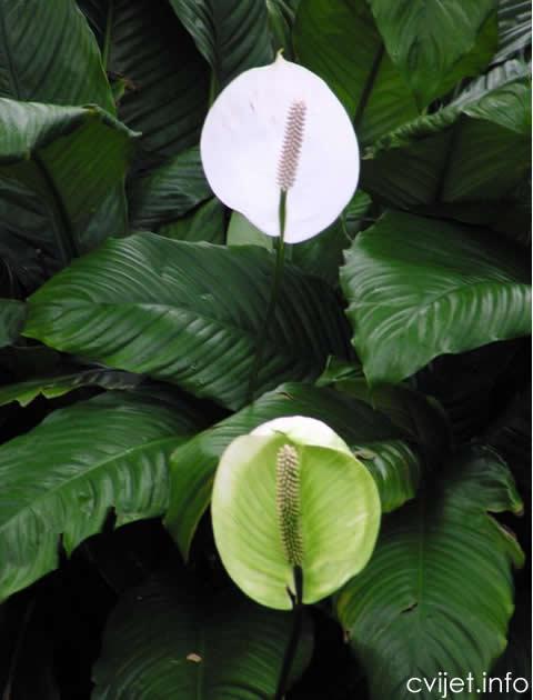 Spatifilum - spathiphyllum 3.jpg