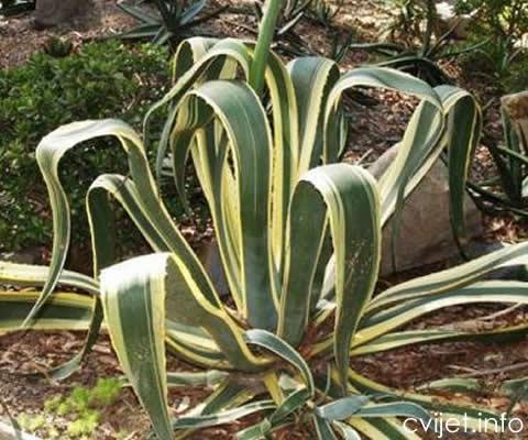 agava-cvijet4.jpg
