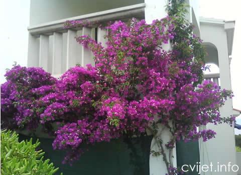Biljka Bougainvillea - bugenvilija - Biljke penjačice