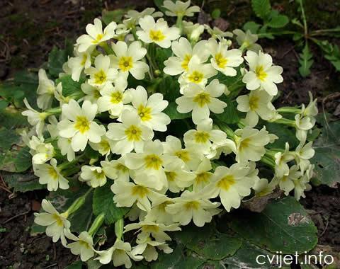 jaglac-cvijet2.jpg