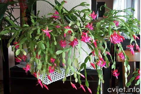 kaktus-bozicni1.jpg